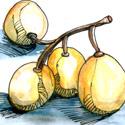 兰撒果,芦菇 langsat