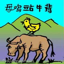 母鸡站牛背 hen sitting on cow